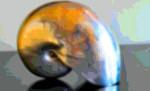 Art Print Mollusk Seashell